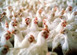 7 Health and Safety Tips You Should Know for Trading Poultry